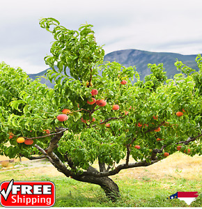 (5) Majestic Peach Tree Cuttings 10-12 Inches N.C Organic Grown for Rooting