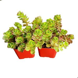 50+ Sedum Dragon's Blood Unrooted Cuttings Ground Cover Stonecrop