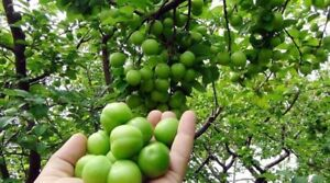 Fresh Sour Plum - Green Juicy - 2020 Harvest 1,4 kg / 3 lbs - Fast Free Shipping