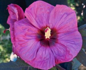 BERRY AWESOME Hardy Hibiscus  --  Plant in 4.5