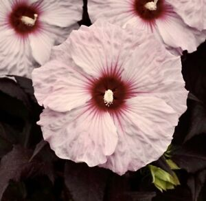 DARK MYSTERY Hardy Hibiscus -- Plant in 4.5
