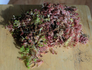 Live Red Sphagnum Moss