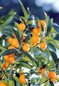kumquat live plants up to 2 in tall well rooted plugs 11.25
