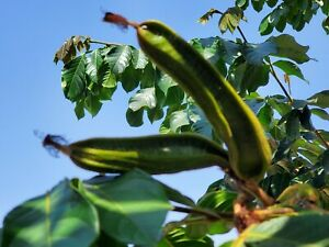 Ice Cream Bean Tropical Flower Fruit Tree Plant SEED POD