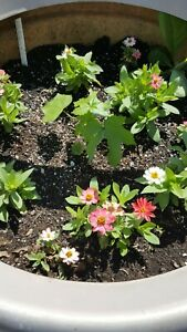 pink with white Profusion zinnias 15 seeds