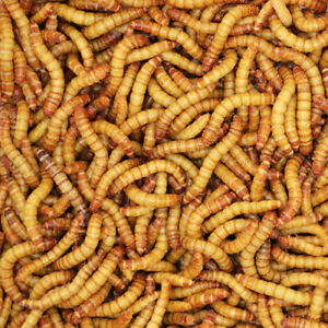 Live Large Giant Mealworms Large 1.25quot; Free Same Day Shipping