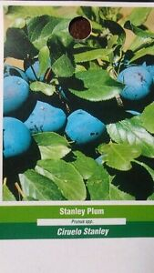 4-6 FT STANLEY PLUM Fruit Tree Plant New Healthy Plums Trees Home Garden Plants