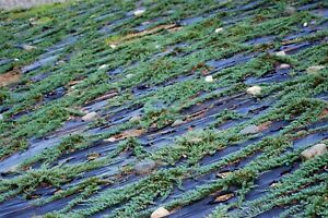 Blue Rug Juniper 'Wiltonii' - 20 Live Plants - Evergreen Ground Cover