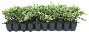 Blue Rug Juniper - 60 Live Plants - Hardy Evergreen Groundcover