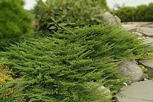 Prince of Wales Juniper - 60 Live Plants - Hardy Evergreen Groundcover