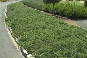 Hughes Juniper - 30 Live Plants - Hardy Evergreen Ground Cover