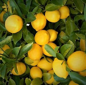 LIVE PLANTS LEMON TREES 3quot; 6quot; EDIBLE CITRUS FRUIT LANDSCAPING STARTER SEEDLING