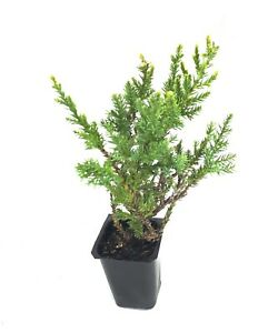Kallay Juniper - 30 Live Plants - Evergreen Groundcover