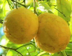 RARE HARDY LEMON HUGE BASEBALL SIZE LEMONS FRUIT TREES 6quot; LIVE PLANTS CITRUS
