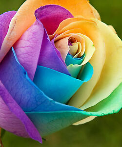 RAINBOW ROSE FLOWER SEEDS - BULK - 100