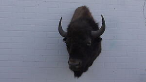 MAJESTIC BULL BISON. FREE ROAMING SCORES 62.2 INCHES!