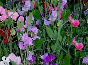 Sweet Pea Royal Mix Seeds -Rainbow Flowers- Attracts Butterflies sale