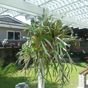 Huge Staghorn fern plant.  Highly ornamental and easy to care for.30 years old !