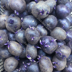 20 PURPLE Skin Flesh Majesty Seed POTATOES Bulbs Spud Vegetable Plant Size SMALL