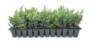 Juniper Blue Pacific - Live Plants - Juniperus Conferta - Evergreen Ground Cover