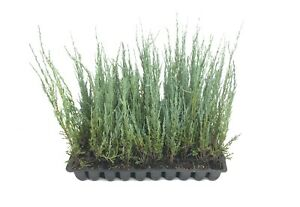 Blue Arrow Juniper - Live Trees -Juniperus Scopulorum- Evergreen Privacy Screen