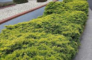 Old Gold Juniper - Live Plants - Drought Tolerant Cold Hardy Ground Cover