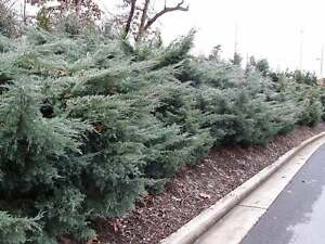 Grey Owl Juniper - Live Plants - Drought Tolerant Cold Hardy Ground Cover