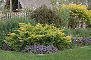 Saybrook Gold Juniper - Live Plants - Hardy Evergreen Ground Cover