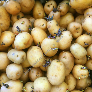 15 Yellow Flesh Gold Skin GOLDEN NUGGET Seed POTATOES Bulbs Tuber Spud Plant