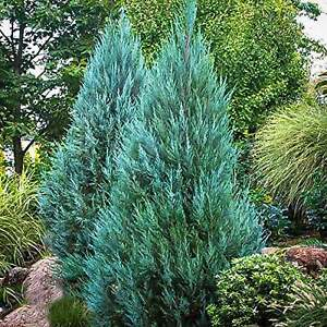 Blue Point Juniper - Live Trees - Juniperus Chinensis - Evergreen Plant