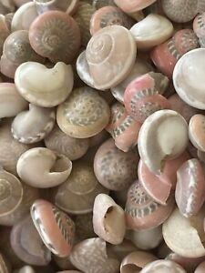 Small Pink Umbonium Sea Shells Lot 1 2 Cup Pink Sea Shells Lot Craft Shells 0.5""