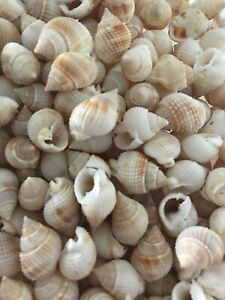 Sea Shell Lot Nassarius Shell 100 Small Seashell Craft Shell