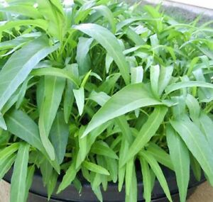 100 Water Spinach - Rau Muống - Seed from Usa