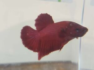 Red Male Plakat Betta RMP3 $10.00
