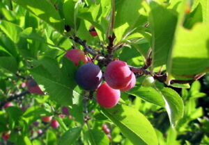 3-Pack Beach Plum (Prunus maritima) Plug/Seedling