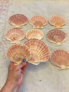 "9 Irish Flat Scallop Seashells 4 1 4"" 5 1 2"" Sea Shells Lot Crafts Nautical"
