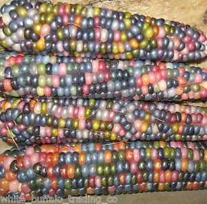 50 Cherokee Glass Gem Corn seeds heirloom non-GMO USA grown maize