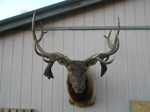 EXTREMELY RARE OFFICIALLY SCORED TRIPLE DROPTINE DOUBLE CLUBS 11x8 ELK ANTLERS