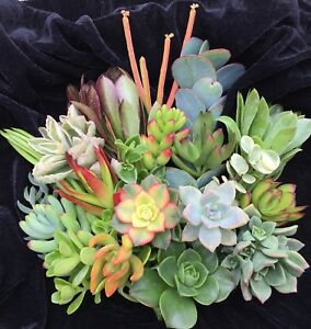 10 Assorted Succulent Cuttings 10 Varieties Free Shipping