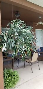 Huge Staghorn fern plant.  Highly ornamental and easy to care for.
