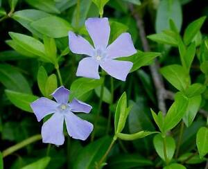 Vinca minor Ground Cover 2500 Plants in 3-12 inch Pots FREE SHIPPING