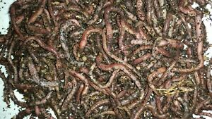 European Nightcrawlers Euros Composting and Ice Fishing Worms Free Shipping