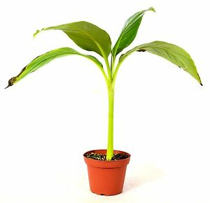 Baby Musa Basjoo cold hardy banana plant mature grown winter hardy rare to find
