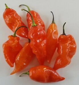 HABANADA Orange Sweet Pepper Organic 25+ FRESH Seeds Heatless Habanero