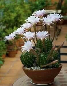Echinopsis oxygona White Easter Lily Cactus ROOTED 3 4 PUP Cactus and Succulent $11.50