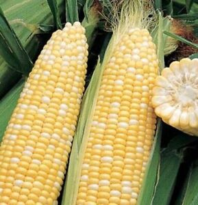 Ambrosia Sweet Corn 50+ Seeds