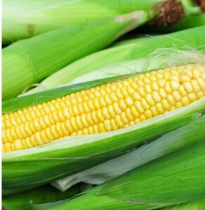 IO Chief Sweet Corn Seed 25+ Seeds Limited Stock Free Shpping 85% Germination