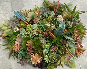 10 Organic Succulent Cuttings - all different - Quick Ship