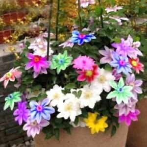300PCS Rainbow Clematis Seeds for Garden Perennial Flowers