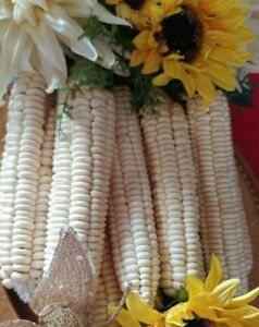 Rare Native American Indian Heirloom Oneida White Flour Corn Seeds Organic USA
